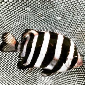 striped beakfish2.26.15